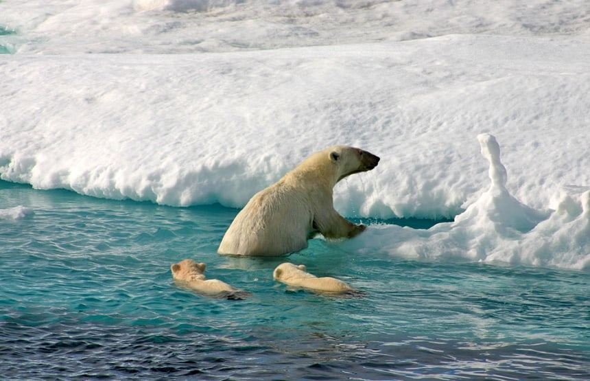 Een ijsbeer met haar  jongen klimt aan land op Spitsbergen.