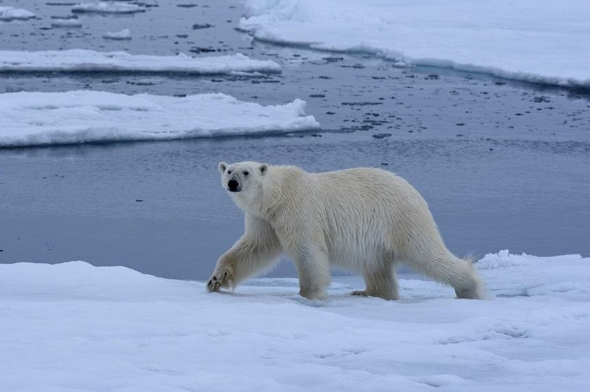 ijsbeer-pakijs-spitsbergen