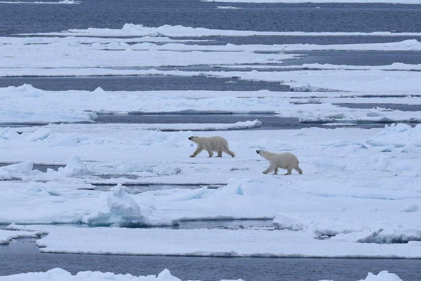 ijsberen-pakijs-spitsbergen