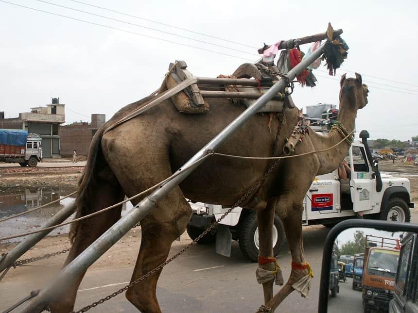 Kameel India