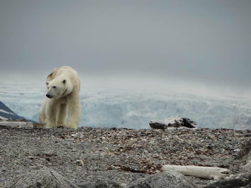 magere-ijsbeer-spitsbergen