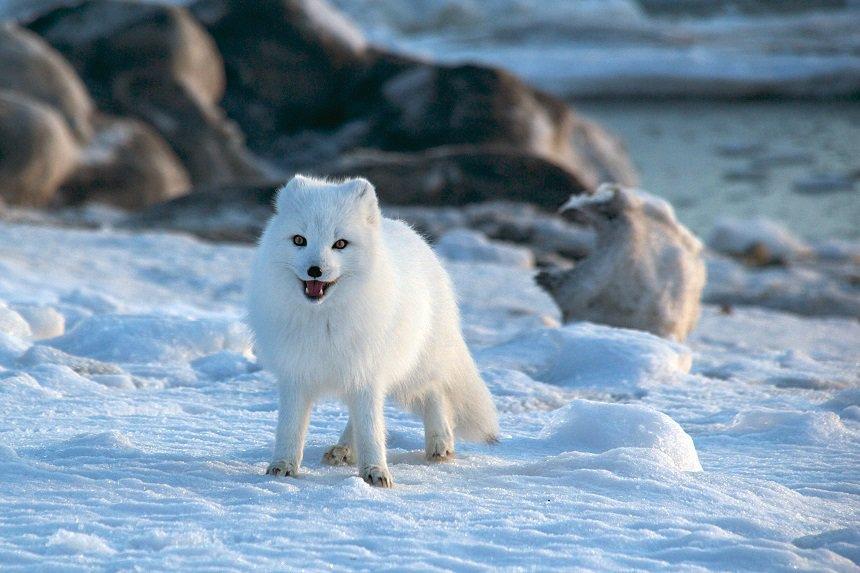 Poolvos op Spitsbergen.