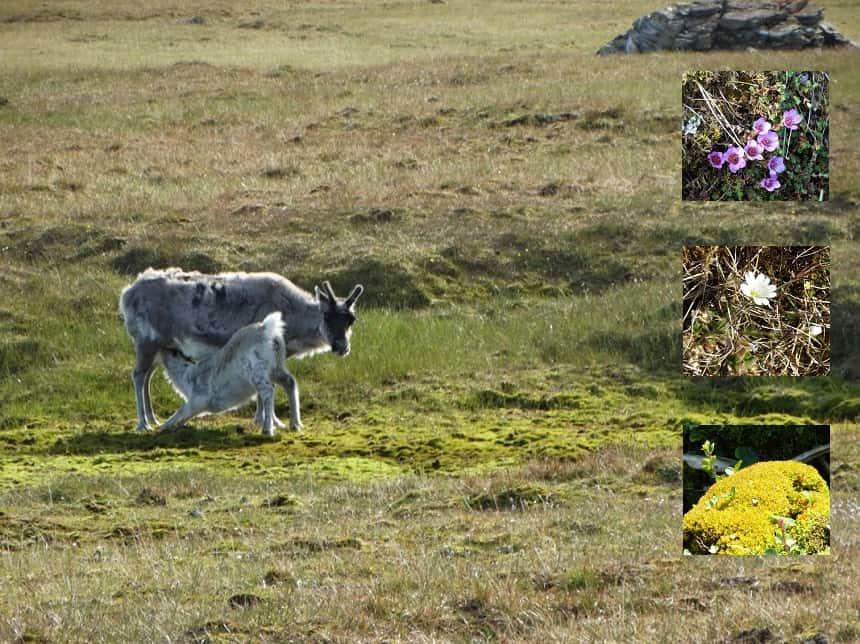 We gaan aan land bij Alkhornet, de berg bij de Isfjorden. Hier is een toendra-landschap met mossen en kleine plantjes. Op de kliffen van de steile berg nestelen veel zeevogels. De uitwerpselen van de broedende vogels (guano) zorgen voor een goede stikstof-bemesting van de flora en dus ook vele rendieren