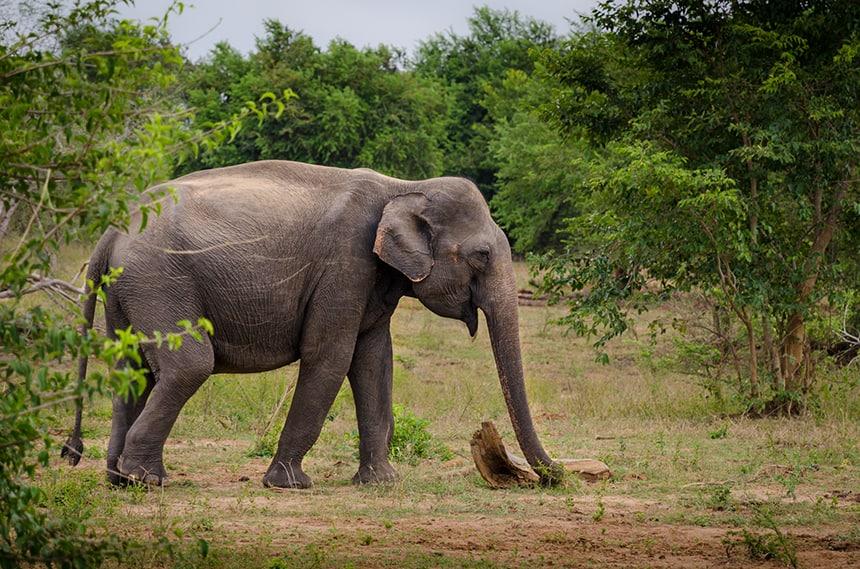 Olifanten Udawalawe National Park