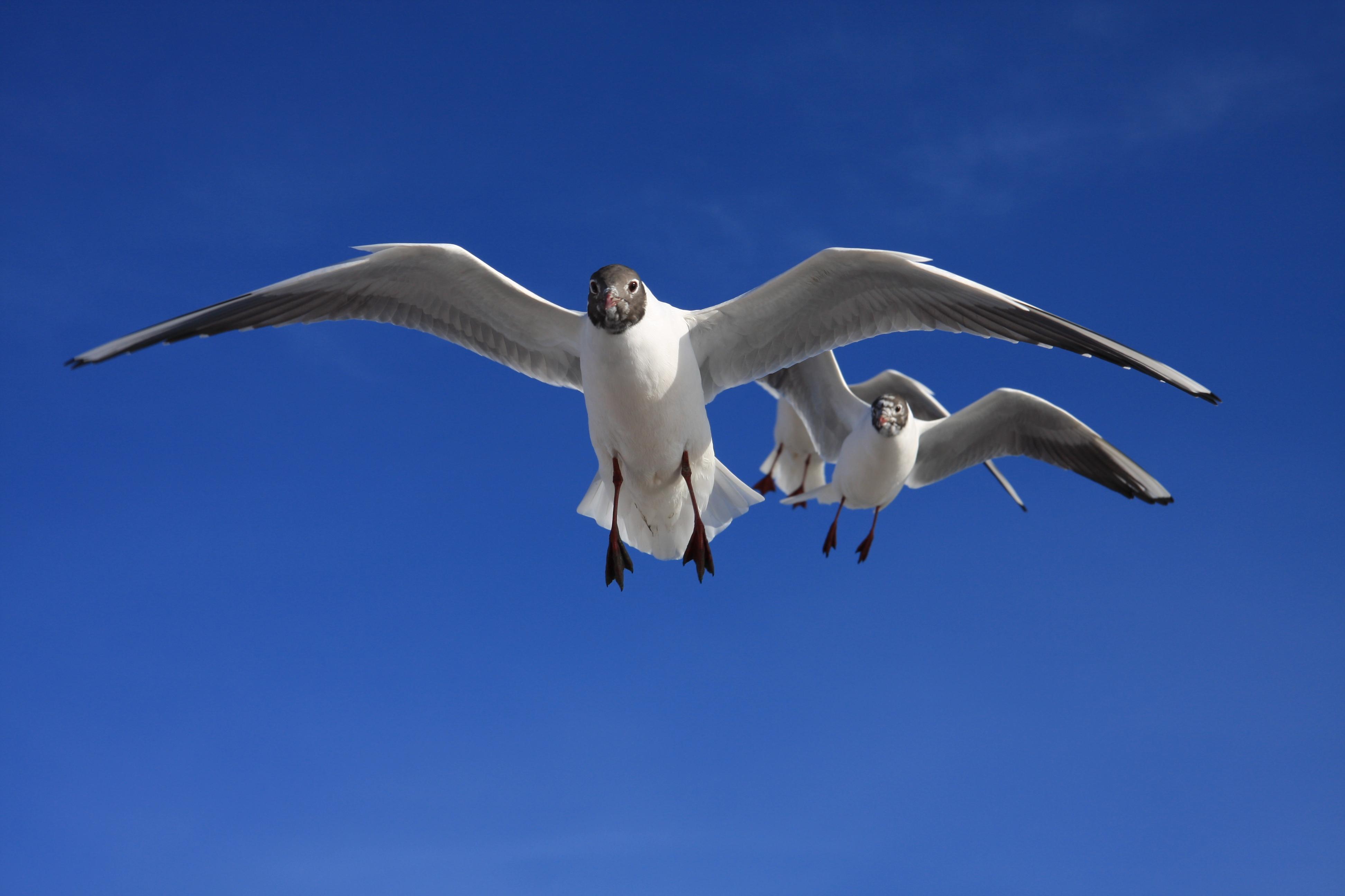 Kapmeeuwen vliegen met je mee op de veerboot naar Ameland