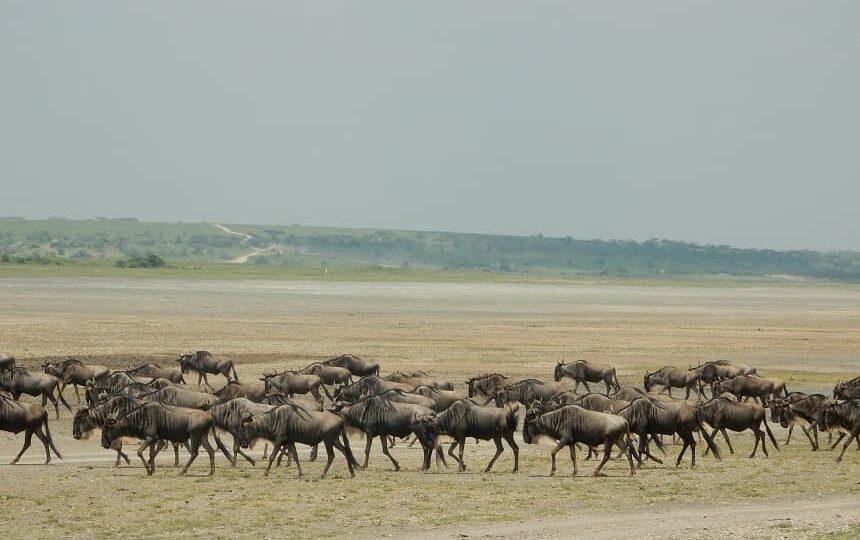 Migratie in het Serengeti
