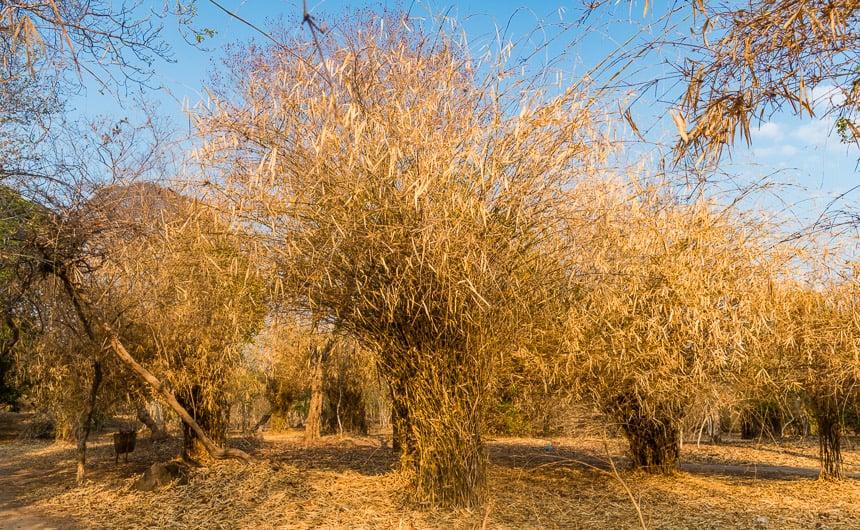 Bamboe op Don Khone