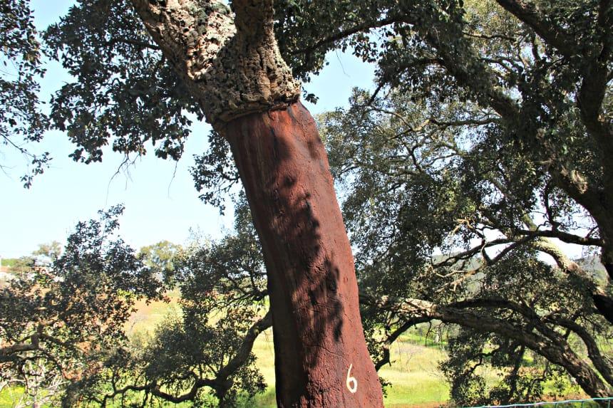 Alentejo staat bekend om de vele kurkeiken. Er worden onder andere wijnkurken van gemaakt.