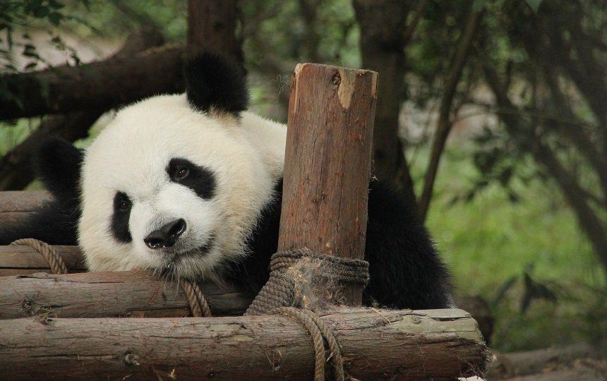 Panda's spotten in Chengdu