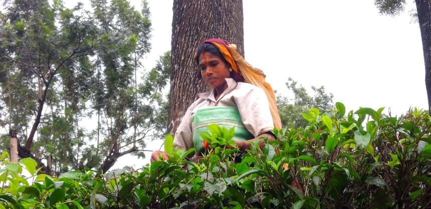 In de thee-plantages bij Nuwara Eliya werken vooral tamils.
