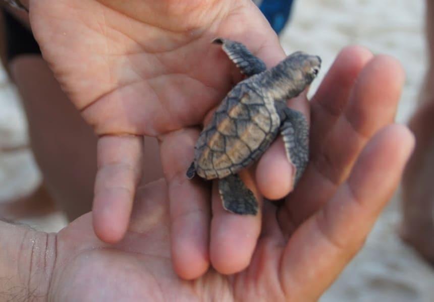 Vrijwilligerswerk op Barbados voor schildpadden