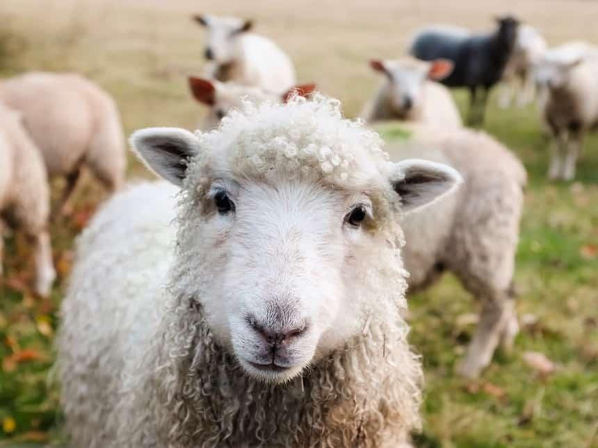 ierland schapen