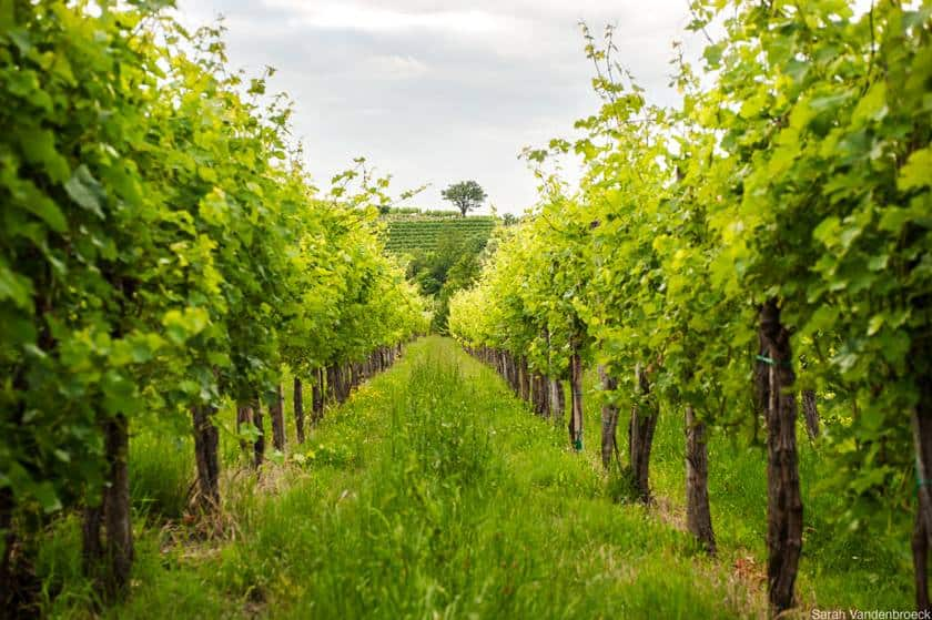 Sloveense wijn in de regio Brda