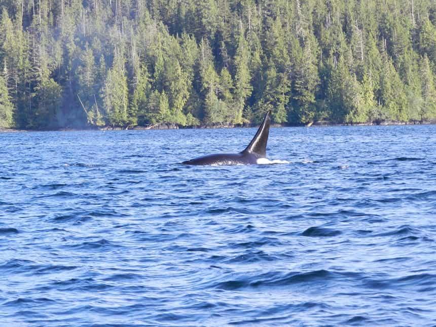Walvissen spotten in Canada
