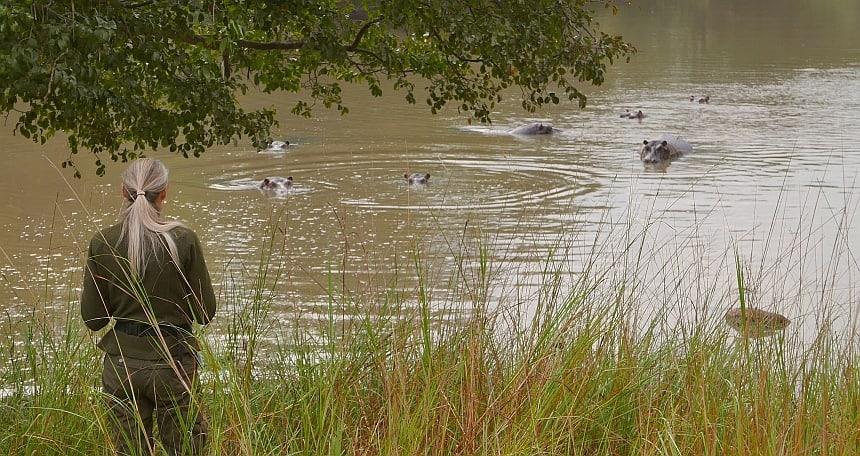 Hippo's zijn nieuwsgierig. Maar ook de grootste killers in Afrika!