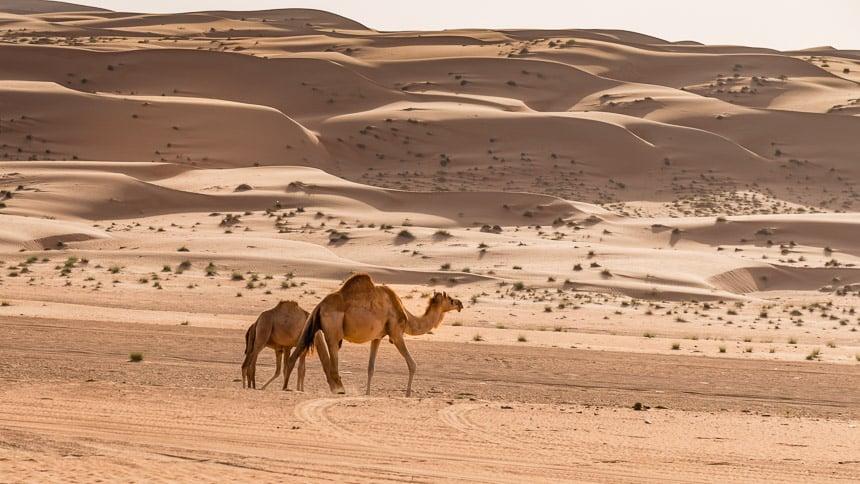 Dromedarissen in de woestijn van Oman