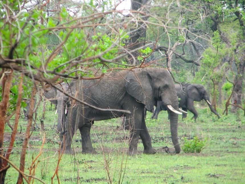 malawi olifanten