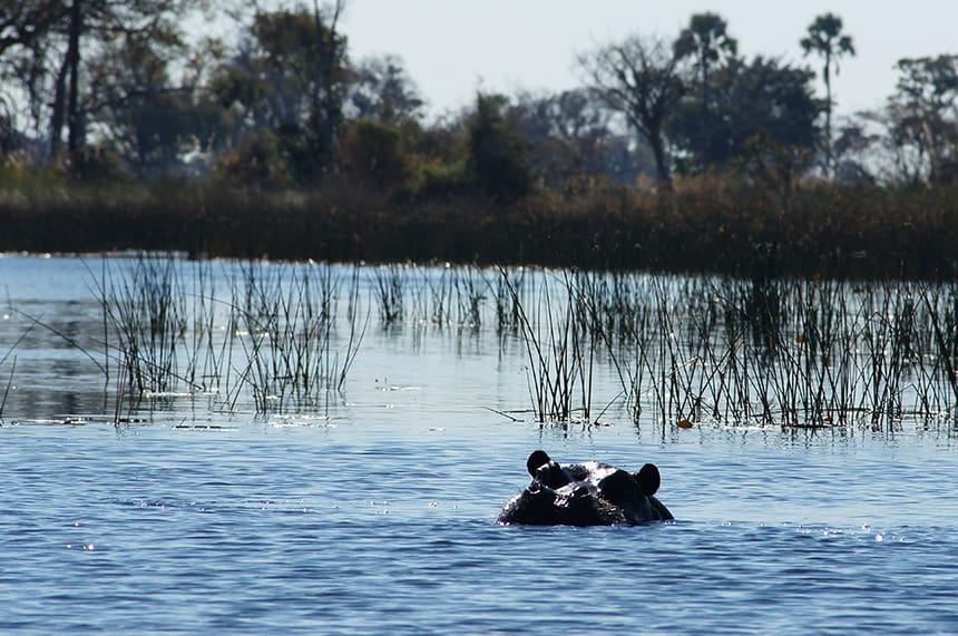 Nijlpaard Okavango Delta
