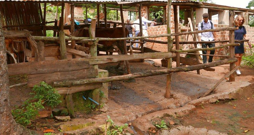 Op de mest van één of twee koeien kan een gezin elke dag koken.