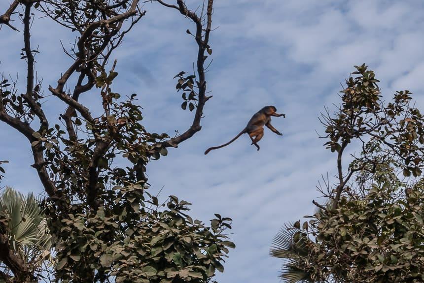 Rode Colobus slingert tussen de bomen in Bijilo Monkee park