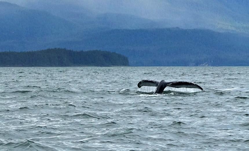 Bultrug in de wateren bij Alaska