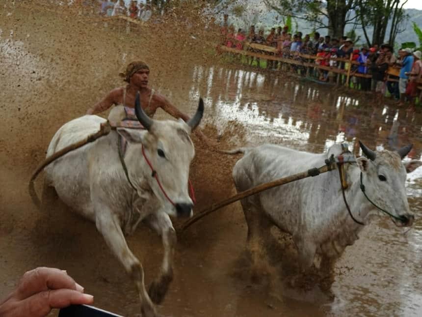 Op spectaculaire wijze racen de koeien door de modder