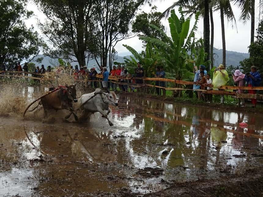 koeienrace indonesie