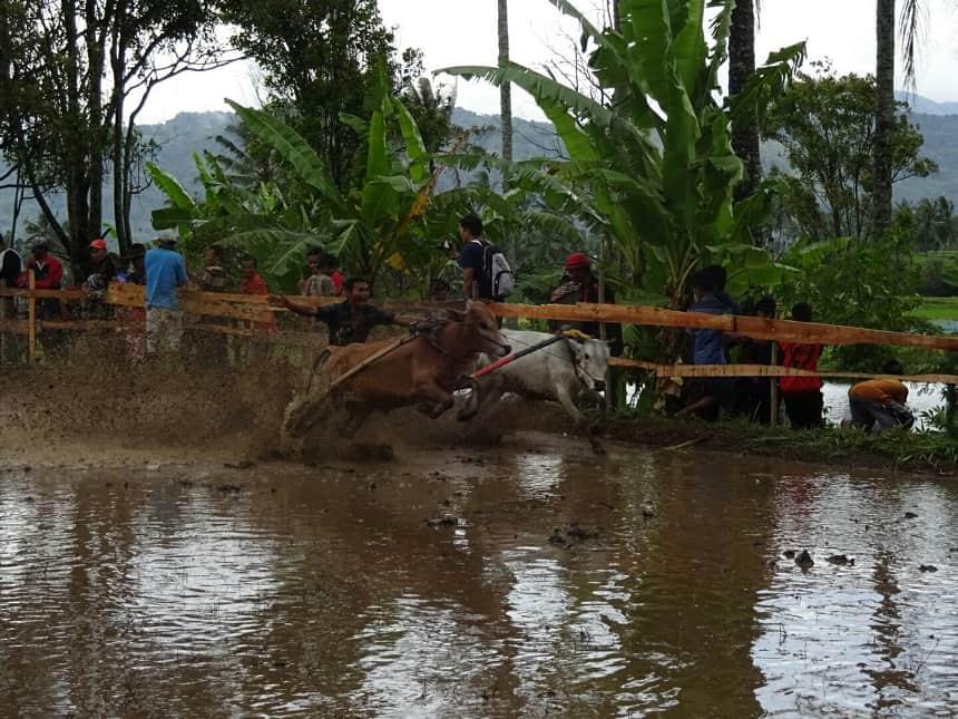 koeienrace sumatra
