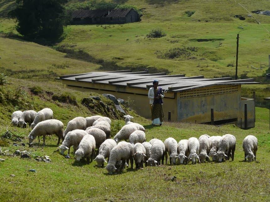 Een kudde schapen bij Ooty