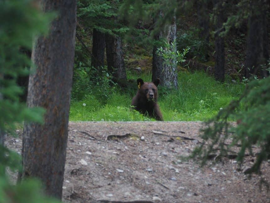 Jonge grizzlybeer in de berm van de weg rond Lake Minnewanka