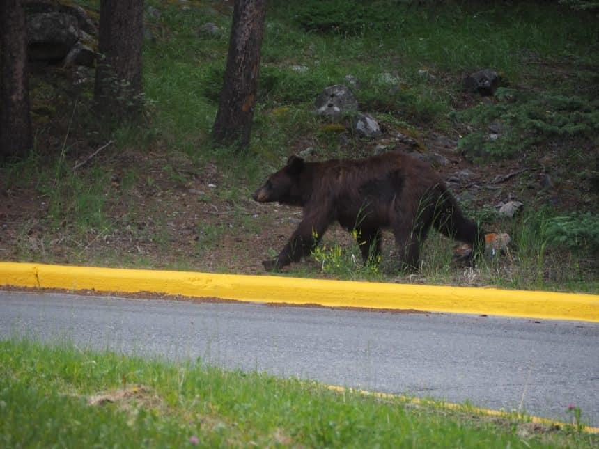 Jonge grizzlybeer rond Lake Minnewanka