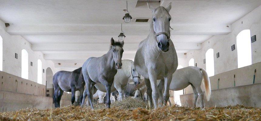 De stoeterij Kladruby nad Labem met zijn beroemde witte paarden.