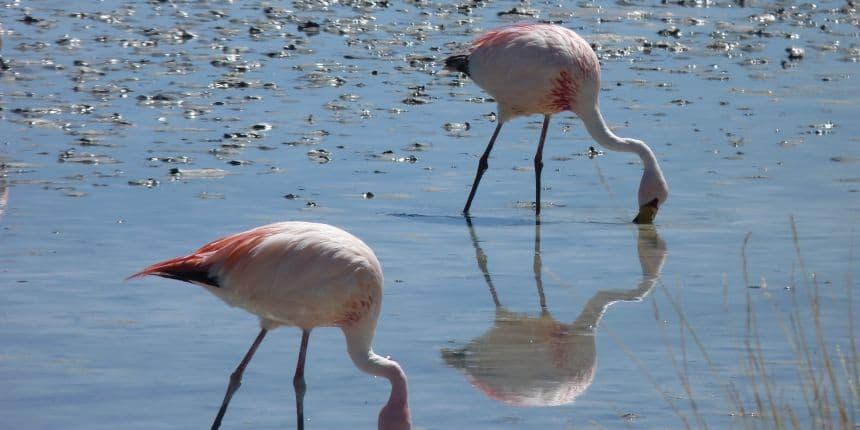 Flamingo's kom je veel tegen in Bolivia