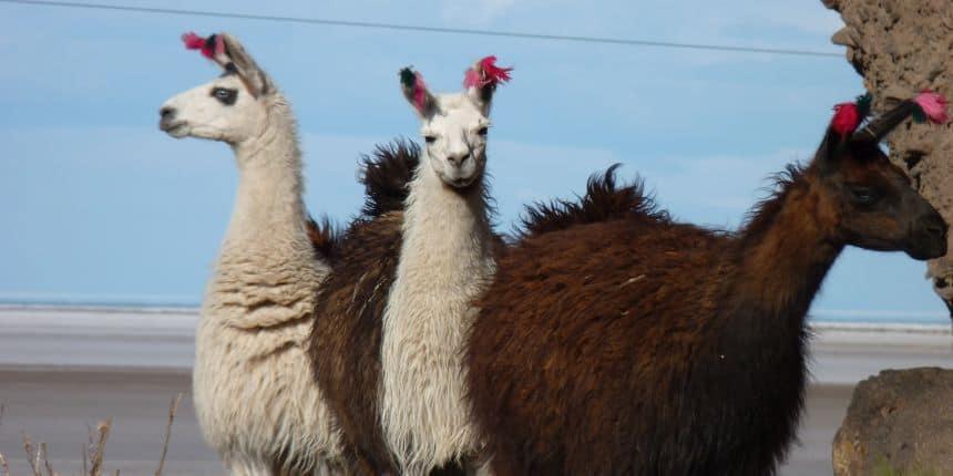 Alpaca's kom je veel tegen in Bolivia