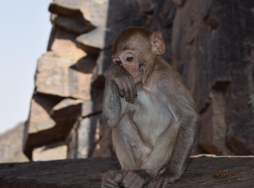 Galta Ji Monkey Temple