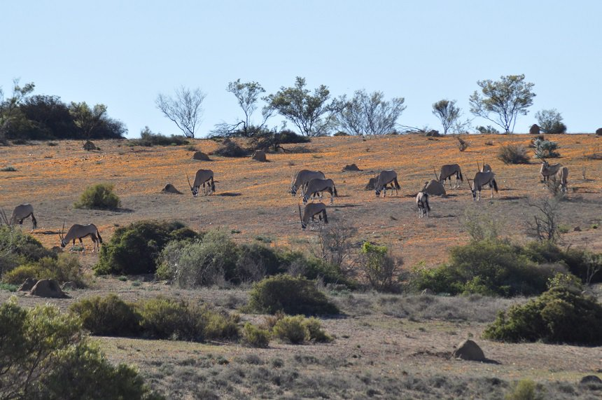 skilpadflowercamp gemsbok