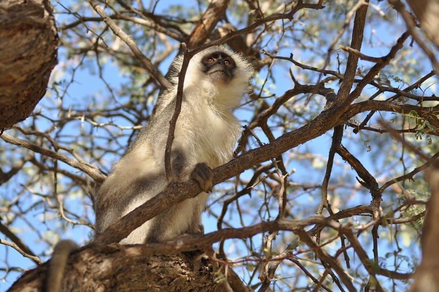 Vervet aapje in Augrabies Falls
