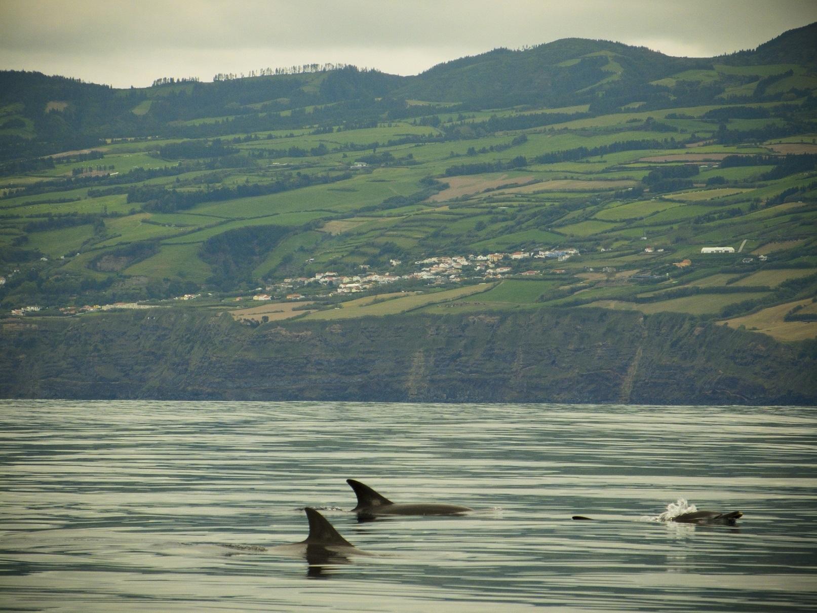 Meerdere populaties walvissen en dolfijnen vertoeven het hele jaar door in de warme wateren van de Azoren