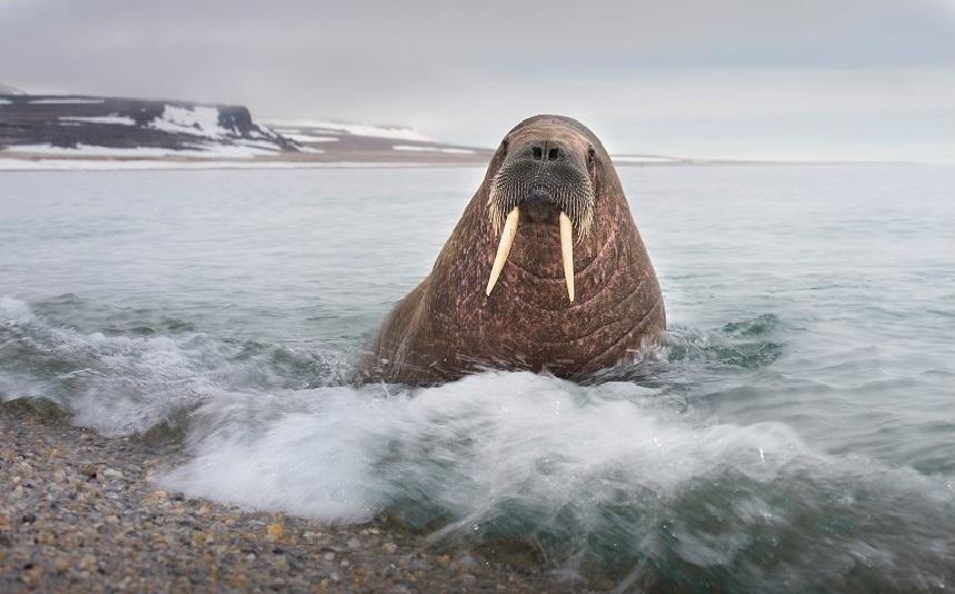 Spitsbergen is een prima voor het spotten van walrussen