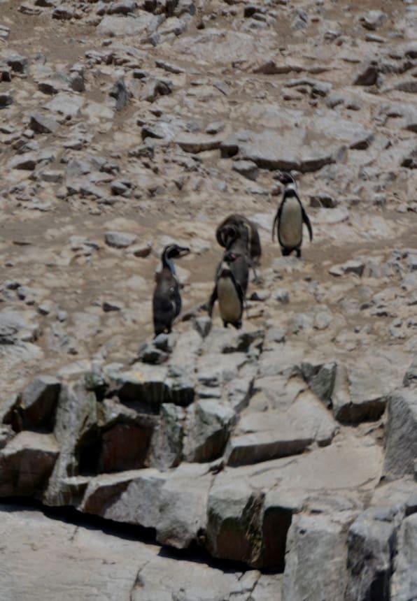 Pinguïns in Peru