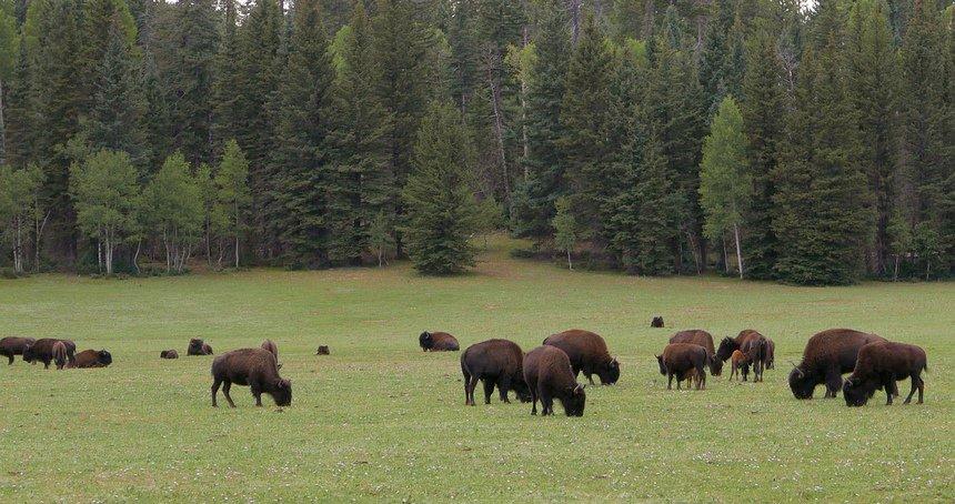 Onderweg naar de North Rim van de Grand Canyon zien we bossen en bizons.