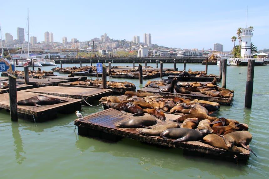 Bij Pier 39 in San Francisco vind je een kolonie zeeleeuwen
