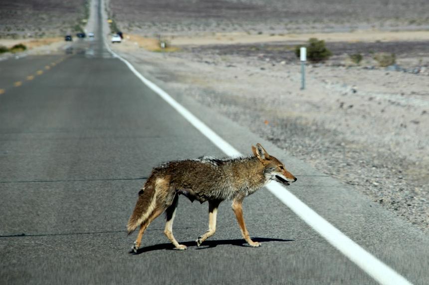 Bonus: wij zagen een coyote in Death Valley