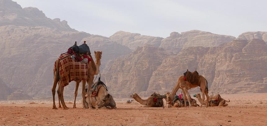 De kamelen wachten op wat gaat komen.