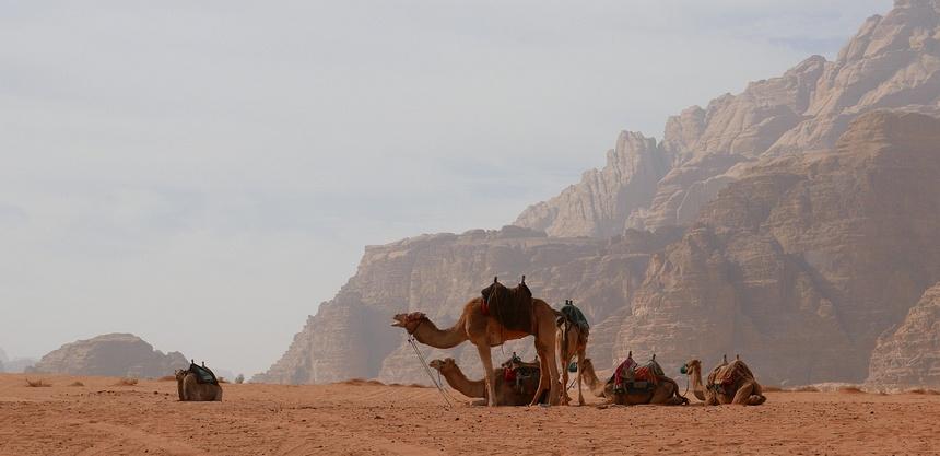 De kamelen worden onrustig: er gaat iets gebeuren.