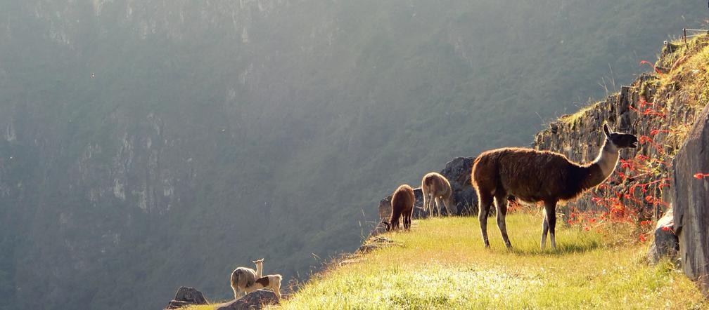 Lama's bij Machu Picchu