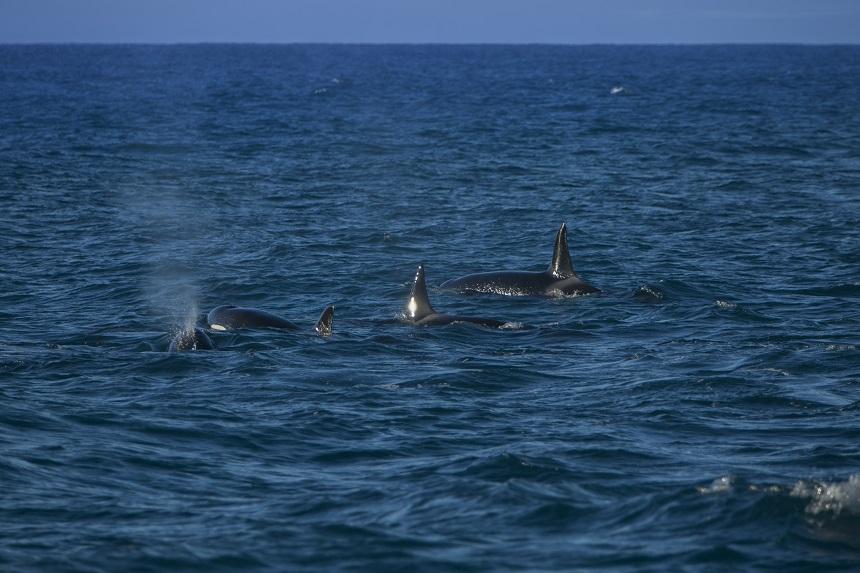In het westen van IJsland komen elke winter honderden orka's bij elkaar