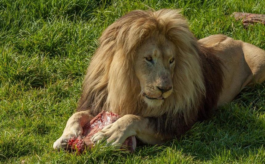 Lionsrock leeuwenopvang