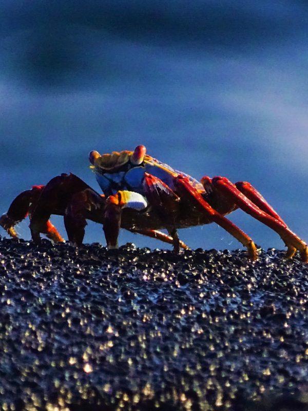rode rotskrab galapagos