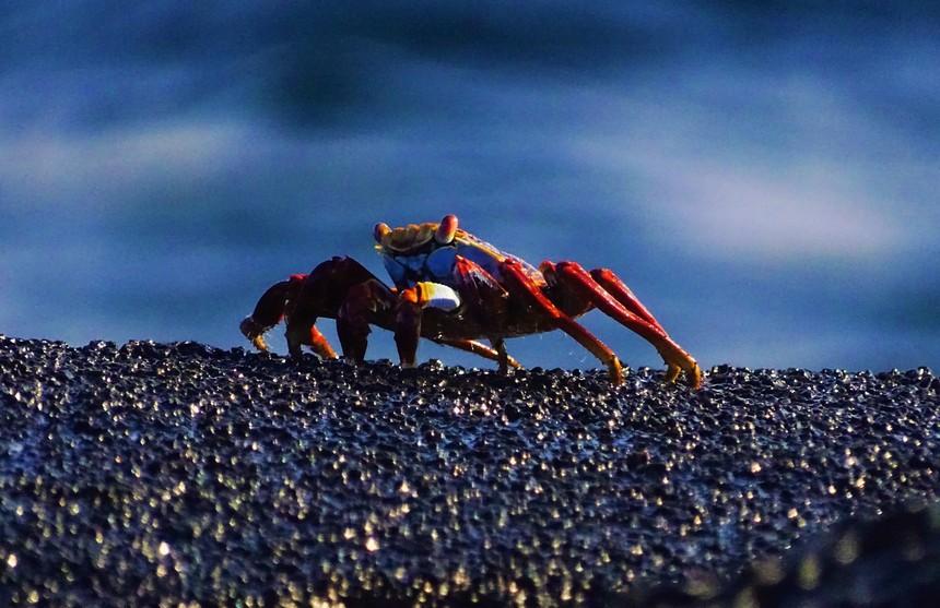 Je komt de rode rotskrab overal tegen op de Galapagos eilanden, vaak in grote groepen